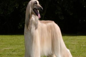 ¿Es aconsejable cortar el pelo del perro en el verano?