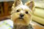 Conjuntivitis (ojo rosado) en perros
