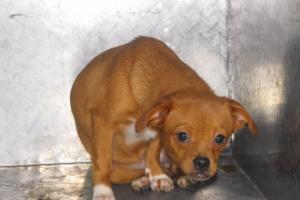 Inflamación hepática (supurativa) en perros