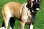 Sobreproducción de estrógeno en perros