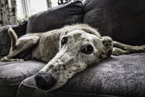 Adoptar perros viejos en lugar de comprar un nuevo cachorro