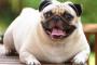 Efectos a largo plazo de la obesidad en las mascotas.