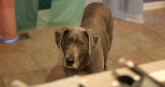 Infección De Coronavirus Canino En Perros