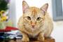 Inicio » Condiciones del gato PetMD Seal Subdesarrollo del tejido cerebral en los gatos