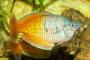 Trastornos de las branquias ambientales en peces