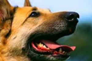 Bloqueo cardíaco o retraso de conducción (anterior izquierdo) en perros