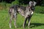 Tumor de piel (histiocitoma) en perros