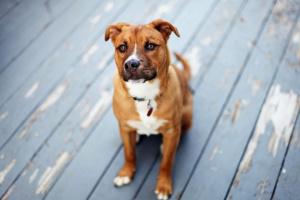 Tumor del Timo en perros