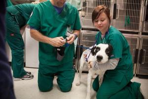 Cómo tratar Heartworms en perros