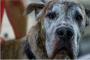 ¿Podría este medicamento extender la vida de su perro?