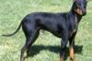 Terrier de Manchester (Estándar)