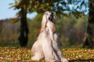 Enfermedad autoinmune sistémica en perros