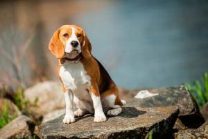 Envenenamiento por anfetaminas en perros