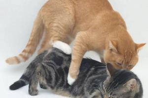 Comportamiento sexual en un gato macho esterilizado