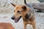 Enfermedad inflamatoria intestinal debida a linfocitos y plasma en perros