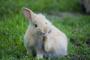 Pulgas que infectan el cuerpo en conejos