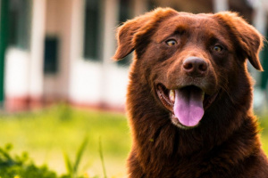 Conozca los problemas de salud comunes en perros mayores