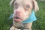 Mucopolisacaridosis en perros