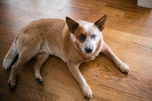 Cáncer de páncreas (Insulinoma) en perros