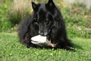 Enfermedad de envenenamiento por salmón en perros