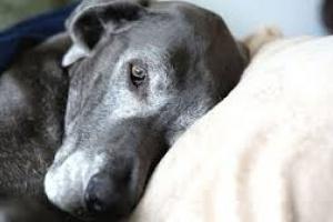 Leucemia (crónica) en perros