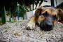 Displasia de cadera en perros: síntomas, causas, tratamientos y prevención.