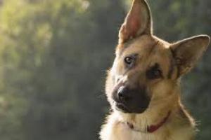 Cáncer de hueso (hemangiosarcoma) en perros