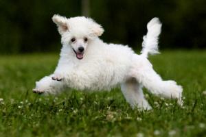 Dislocación articular en perros