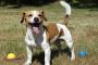 7 hechos que la gente no sabe del Jack Russell terrier sabe de memoria