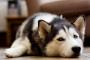 Cómo detener el vómito en perros