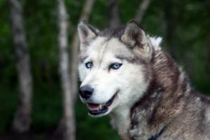 El perro husky: perfil de especie