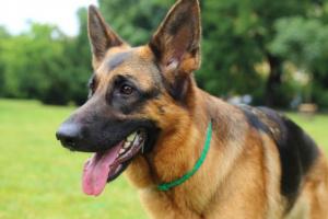 Envenenamiento por parásitos con medicamentos (ivermectina) en perros