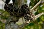 Las serpientes constrictoras como mascotas