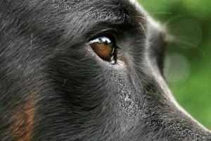 Entropión en perros: conozca los signos y cómo tratarlo