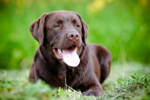 Tumor de envoltura nerviosa en perros