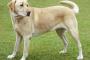 Cáncer de hueso (osteosarcoma) en perros