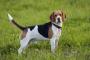 Signos de hiperadrenocorticismo en un perro