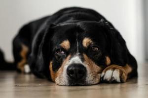 7 signos de que su perro o gato puede estar sufriendo de artritis