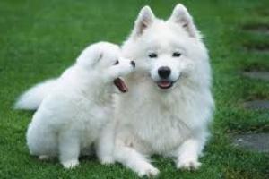 Trastornos de células madre debido a un desarrollo anormal y maduración en perros