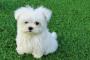 Infección bacteriana (nocardiosis) en perros