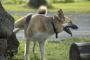 Cómo tratar la hematuria en los perros