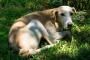 Rimadyl para perros: usos, dosis y efectos secundarios.
