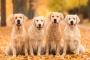 Insuficiencia hepática (aguda) en perros