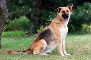 Síntomas de la displasia del codo en perros
