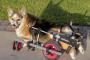 Mielopatía degenerativa en perros: síntomas, causas y tratamientos.
