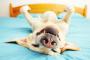 ¿Tu perro tiene un problema de ronquido?