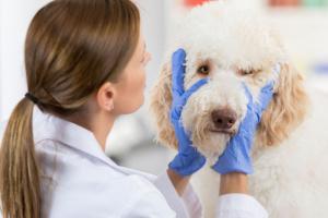 Infección de gusano de ojo en perros