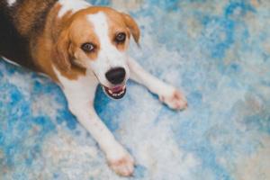 Inflamación crónica de los bronquios en los perros