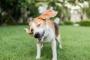 Cabeza temblando en los perros: cuándo preocuparse