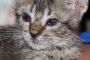 Cánceres y tumores del ojo en gatos